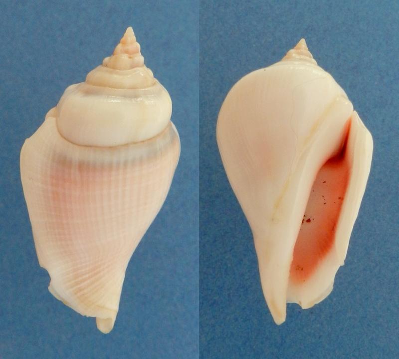 Gibberulus gibberulus gibberulus - (Linnaeus, 1758)  St_gib13