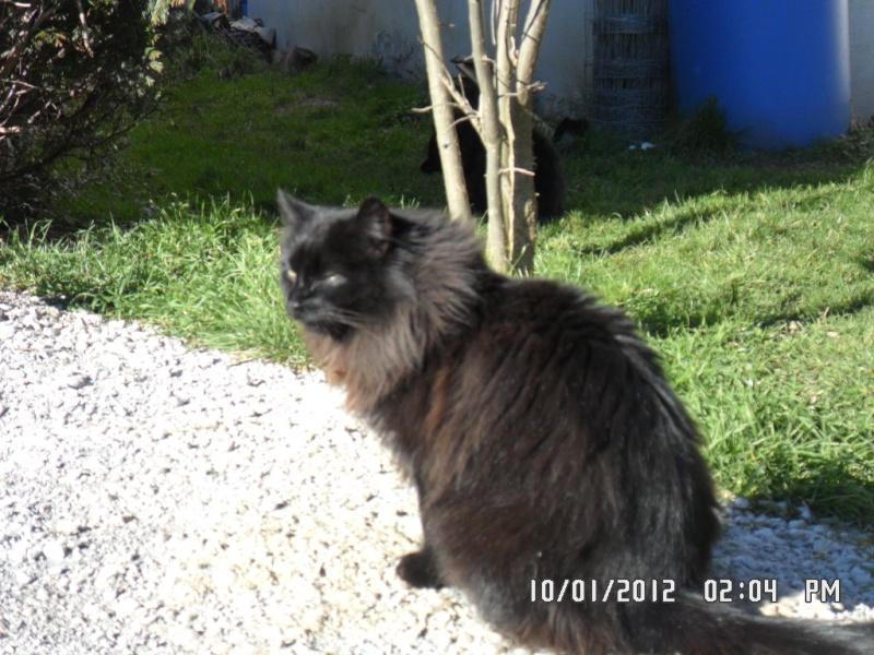 A réserver ou à placer en famille d'accueil très belle chatte angora noire Sam_0010