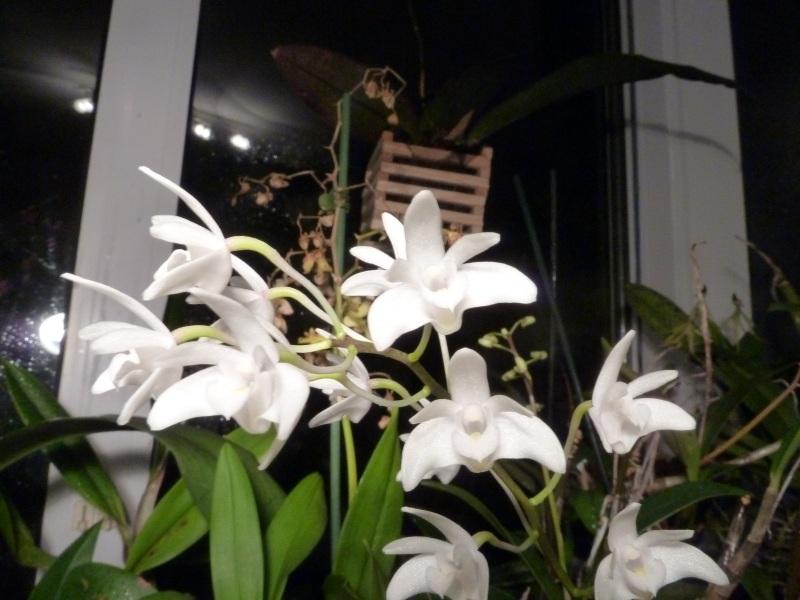 Dendrobium kingianum D_deli11