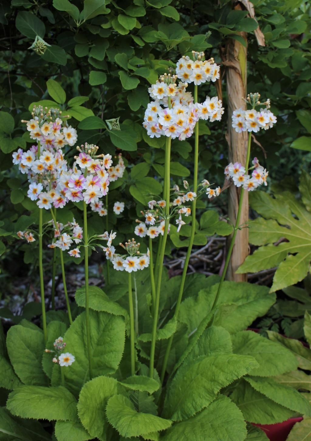 Primula japonica Primul13