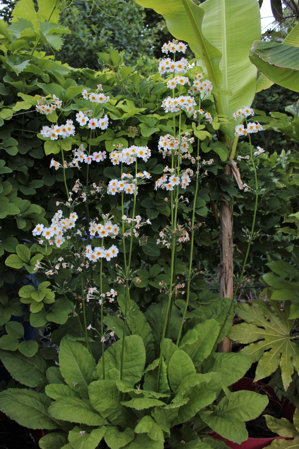 Primula japonica Primul14
