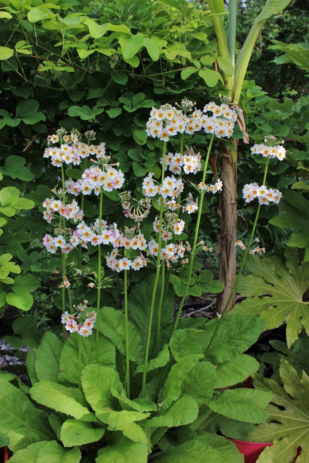 Primula japonica Primul15