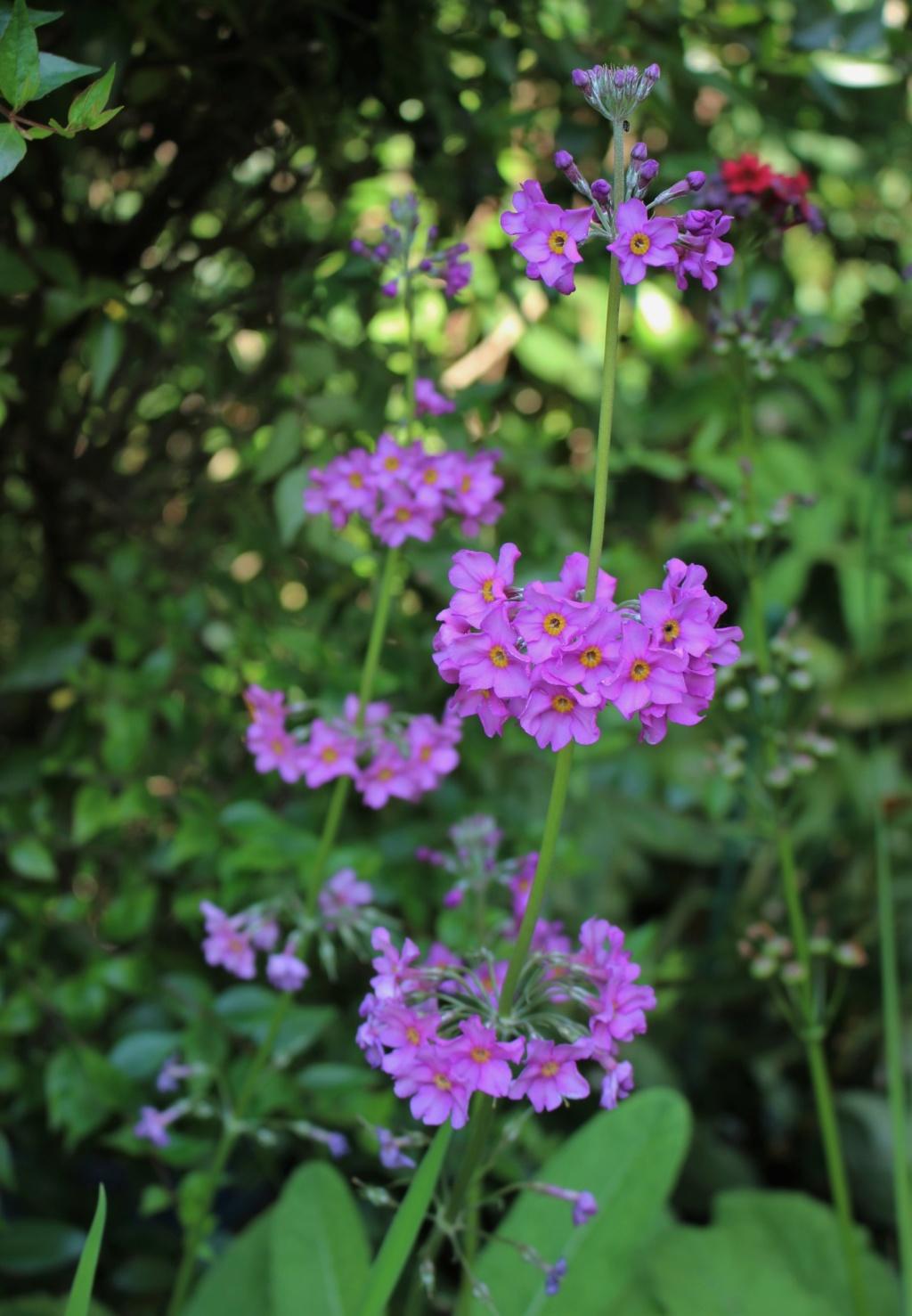 Primula japonica Primul17