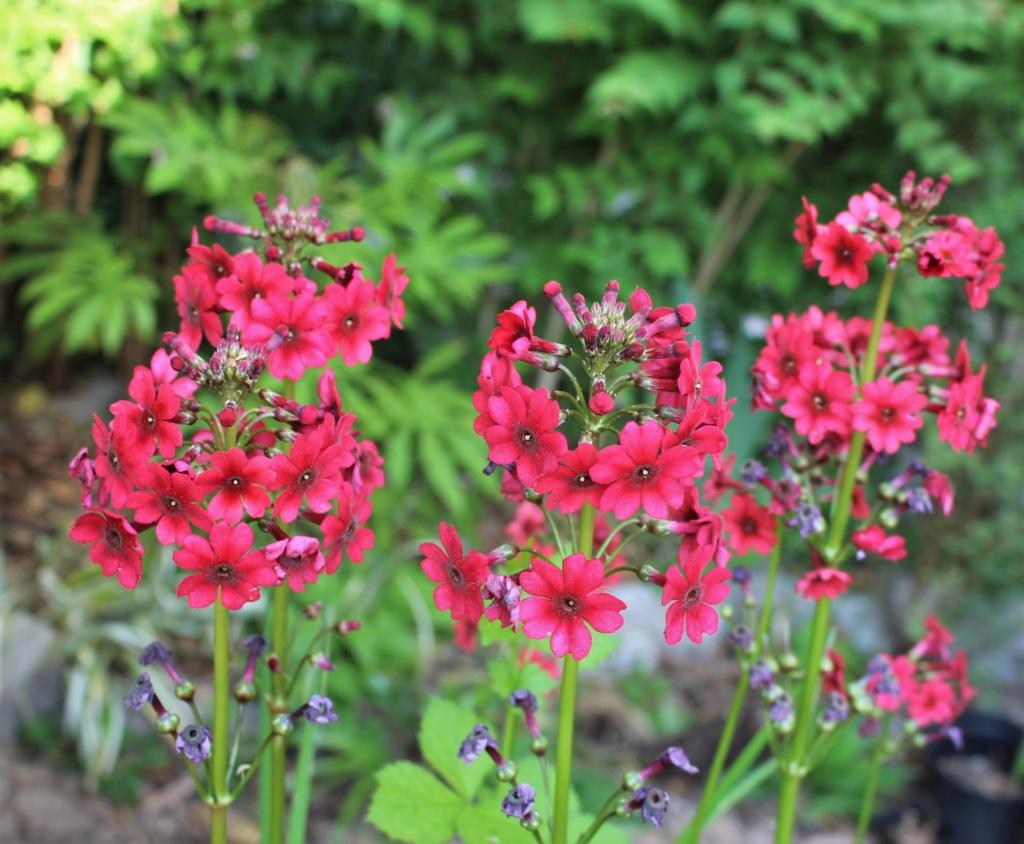 Primula japonica Primul18