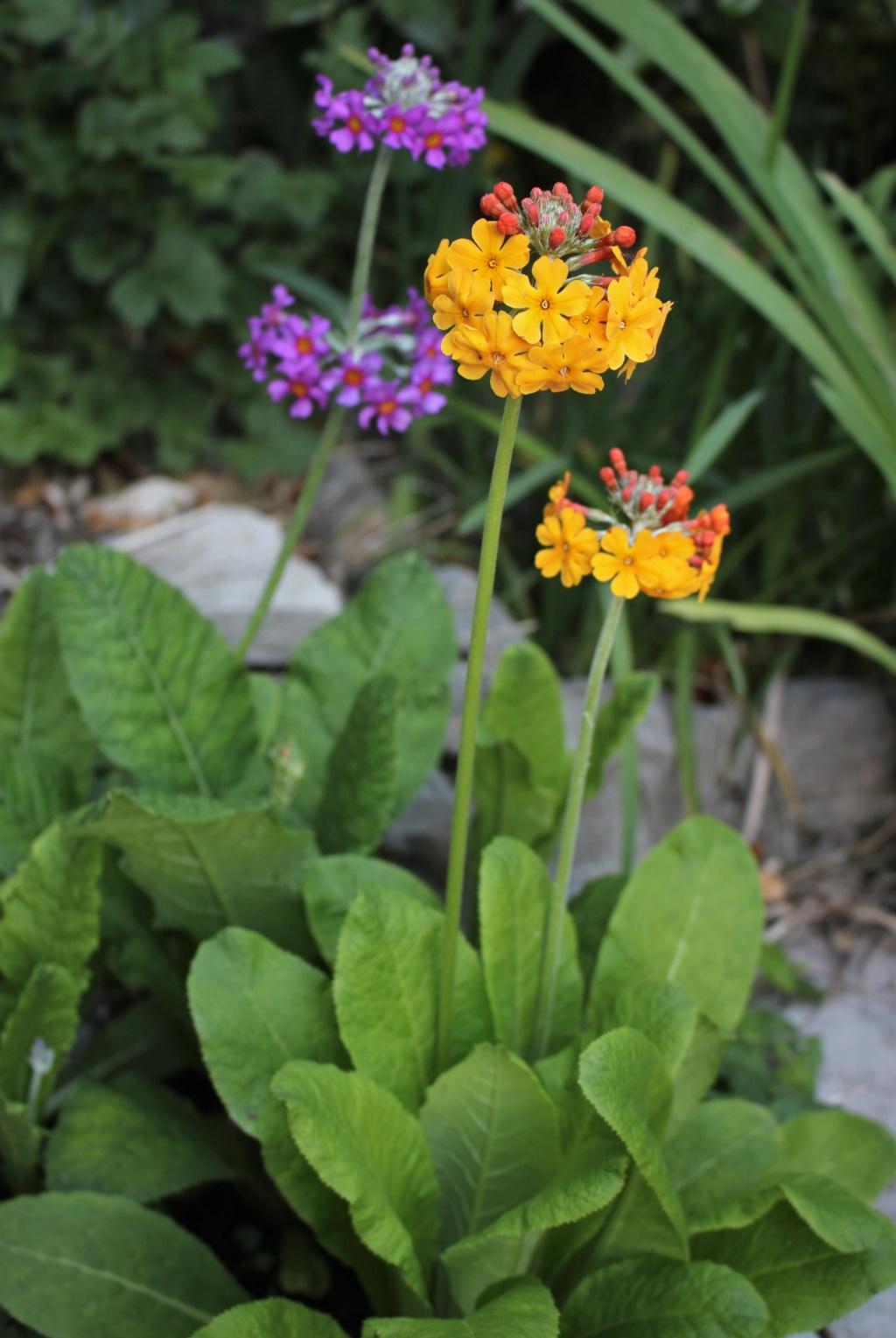 Primula japonica Primul20