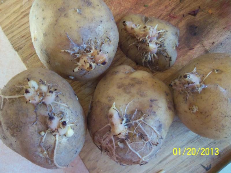 Holy Potatoes!! 100_4613