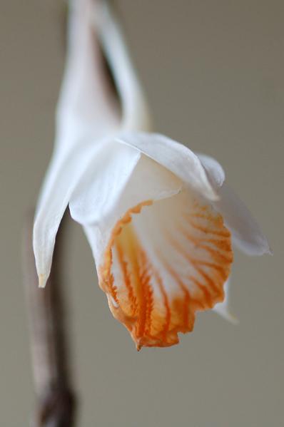 Dendrobium chapaense Dendro10