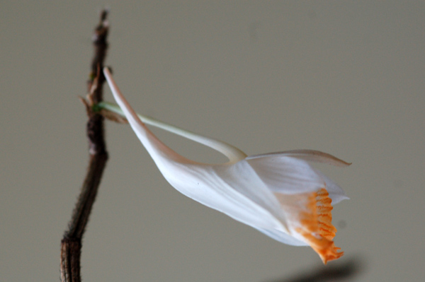 Dendrobium chapaense Dendro11