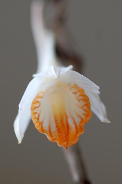 Dendrobium chapaense Dendro12