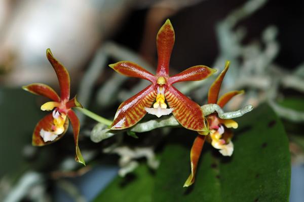 Phalaenopsis mannii Phal_m10