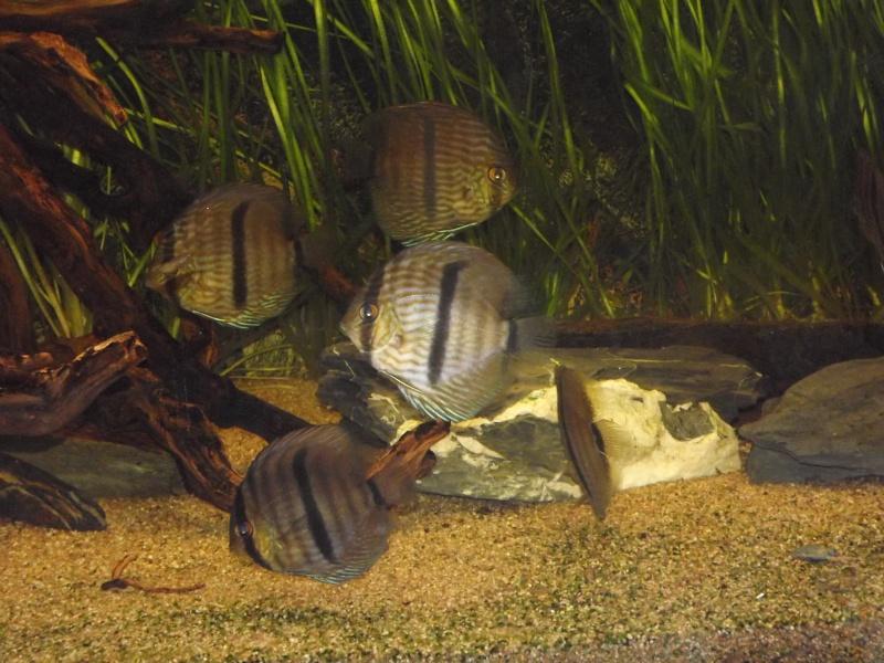 Symphysodon discus, Discus heckel rio Negro 430_l_10