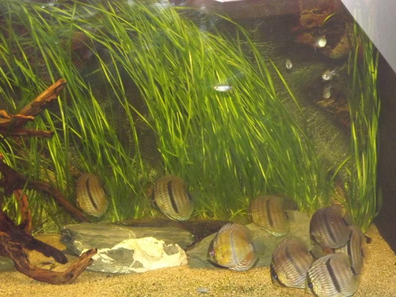 Symphysodon discus, Discus heckel rio Negro 430_l_11