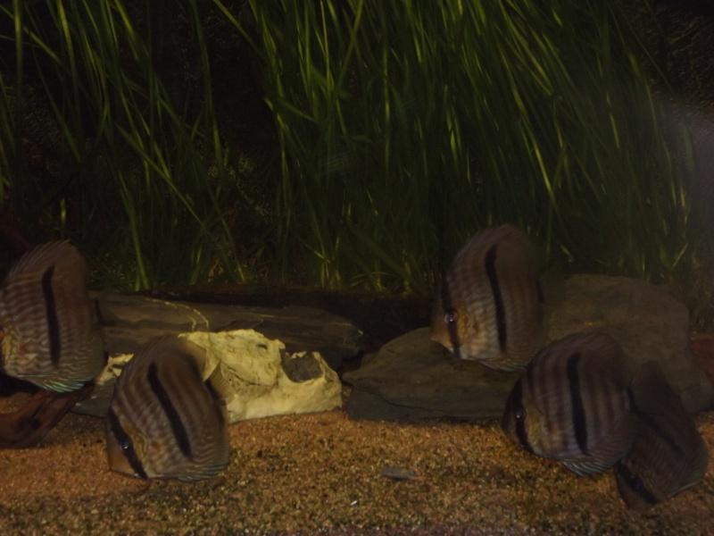 Symphysodon discus, Discus heckel rio Negro 430_l_12