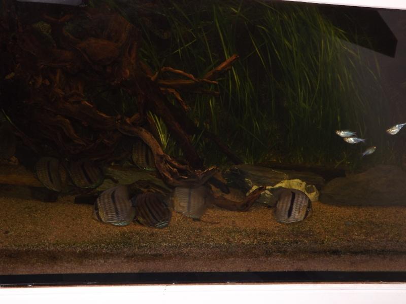 Symphysodon discus, Discus heckel rio Negro 430_l_13