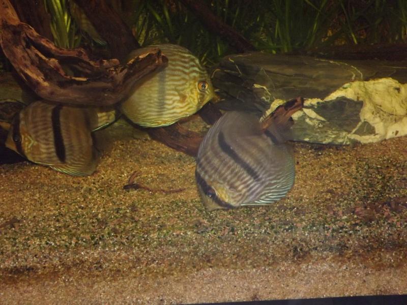 Symphysodon discus, Discus heckel rio Negro 430_l_14