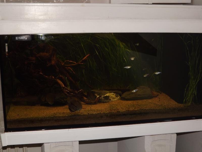 Symphysodon discus, Discus heckel rio Negro 430_l_15