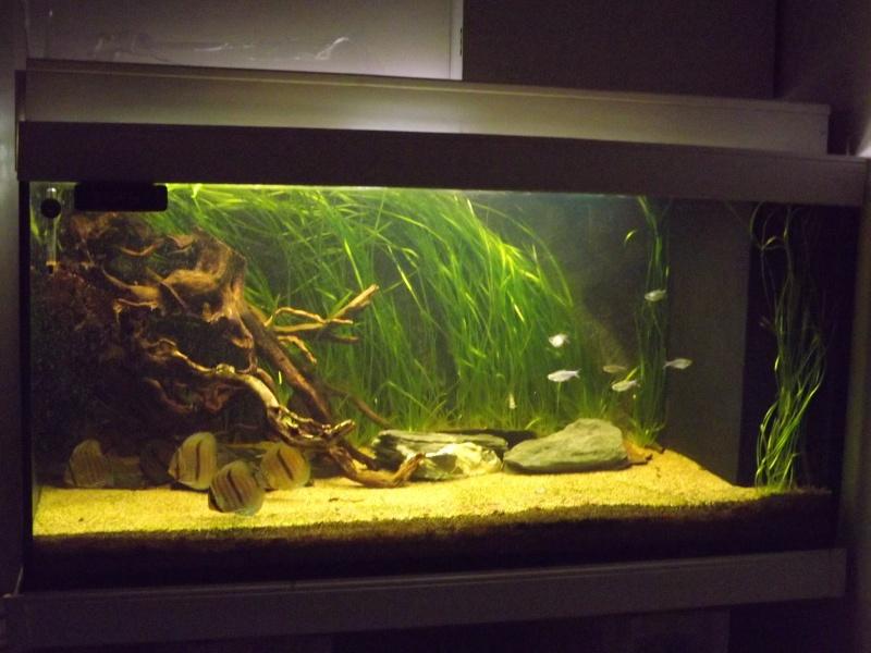 Symphysodon discus, Discus heckel rio Negro 430_l_16