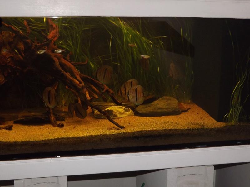 Symphysodon discus, Discus heckel rio Negro 430_l_17
