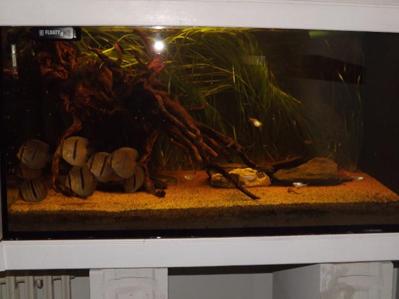 Symphysodon discus, Discus heckel rio Negro 430_l_18