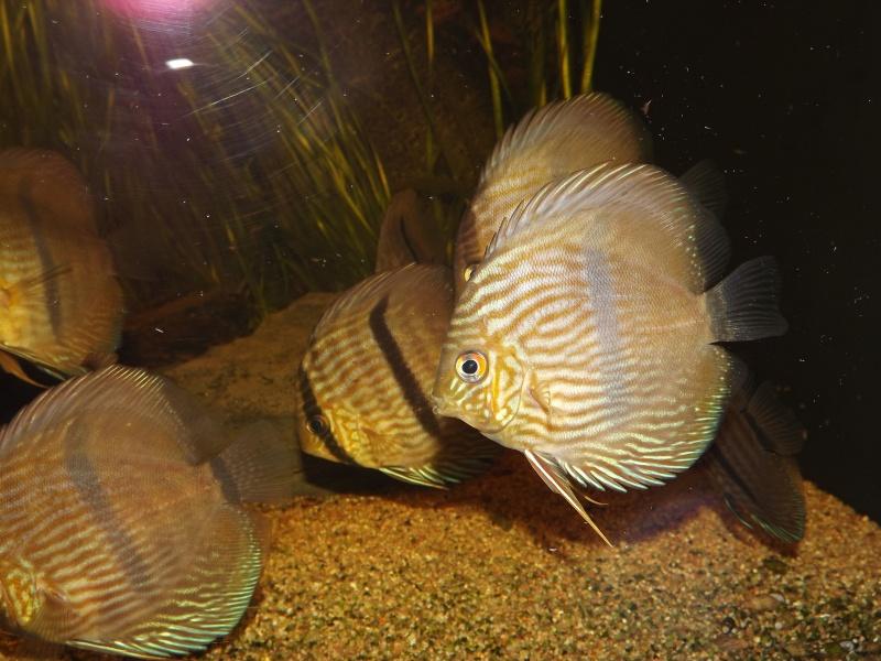 Symphysodon discus, Discus heckel rio Negro 430_l_19