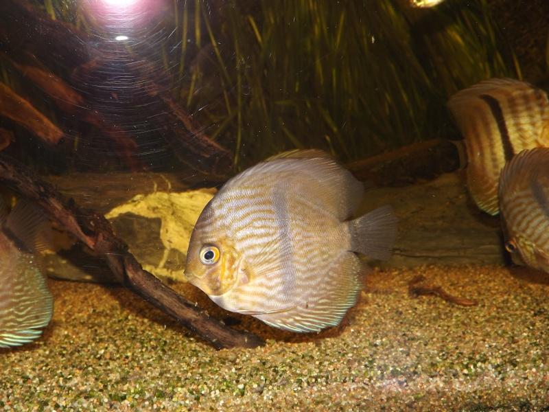 Symphysodon discus, Discus heckel rio Negro 430_l_20