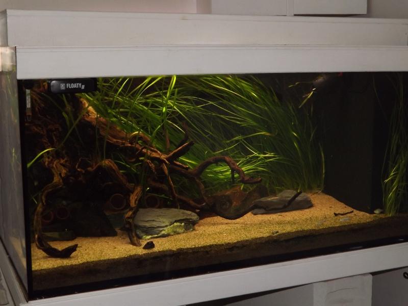 Symphysodon discus, Discus heckel rio Negro 450_l_10