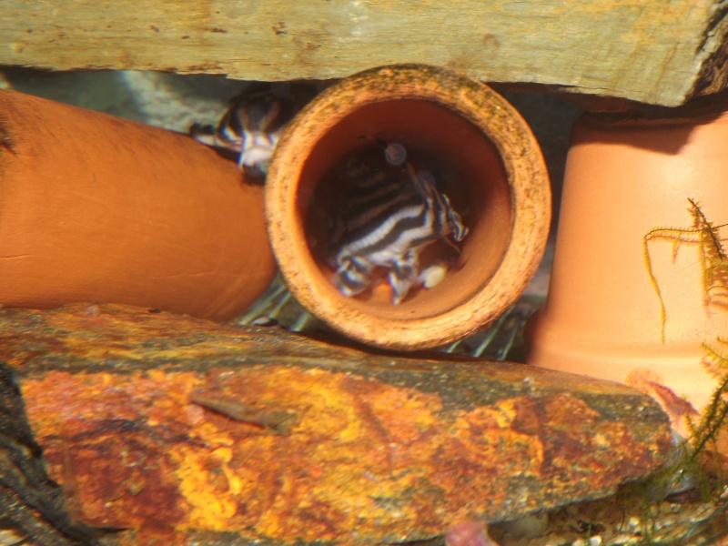 Bac spécifique pour la reproduction d'Hypancistrus zebra Couple13