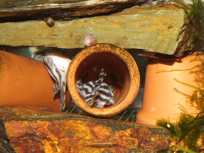 Bac spécifique pour la reproduction d'Hypancistrus zebra Couple18