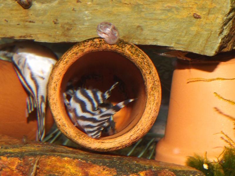 Bac spécifique pour la reproduction d'Hypancistrus zebra Couple19