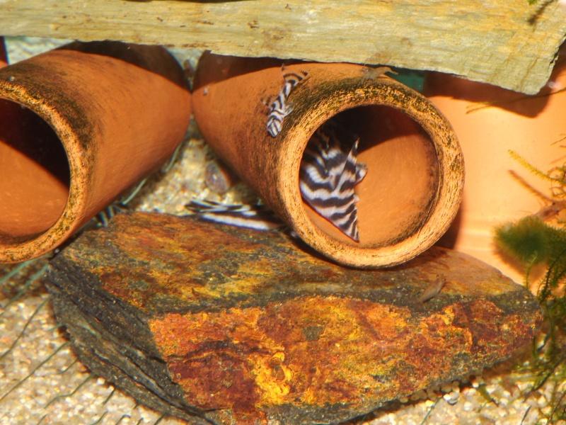Bac spécifique pour la reproduction d'Hypancistrus zebra Couple25