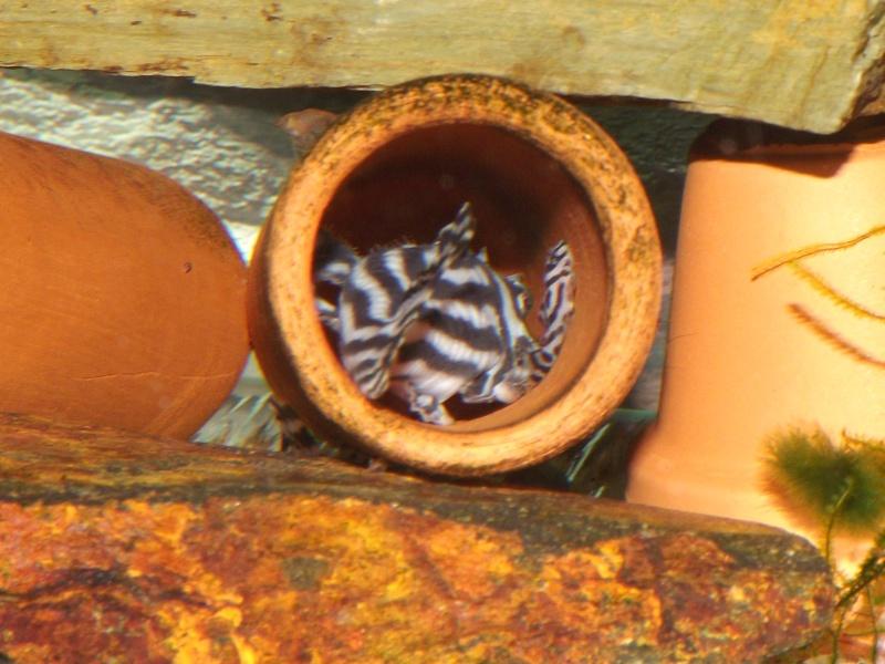 Bac spécifique pour la reproduction d'Hypancistrus zebra Couple27
