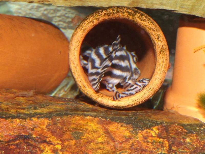 Bac spécifique pour la reproduction d'Hypancistrus zebra Couple28