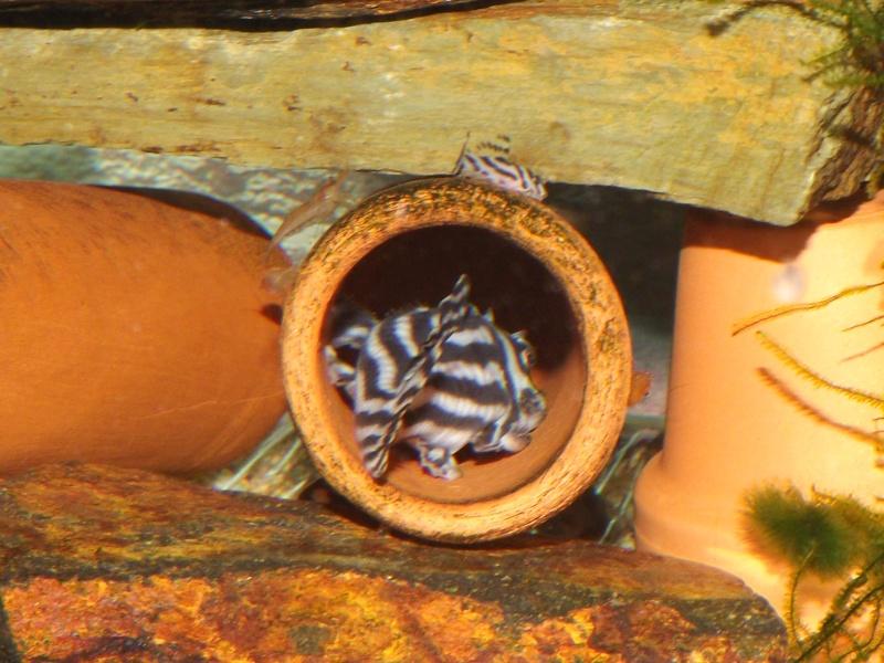 Bac spécifique pour la reproduction d'Hypancistrus zebra Couple32