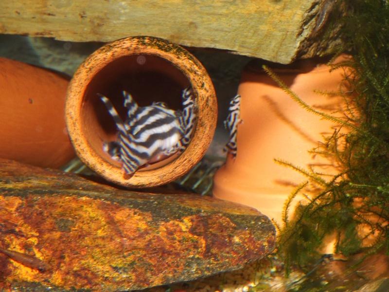 Bac spécifique pour la reproduction d'Hypancistrus zebra Couple34