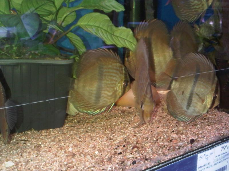 Symphysodon discus, Discus heckel rio Negro Discus10
