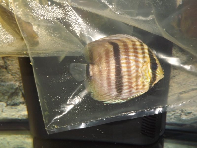 Symphysodon discus, Discus heckel rio Negro Discus12
