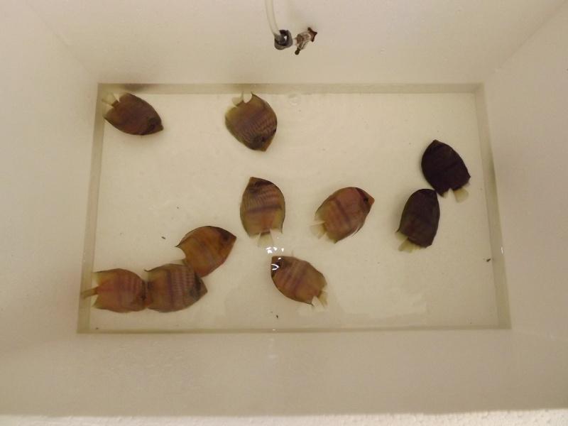 Symphysodon discus, Discus heckel rio Negro Discus14