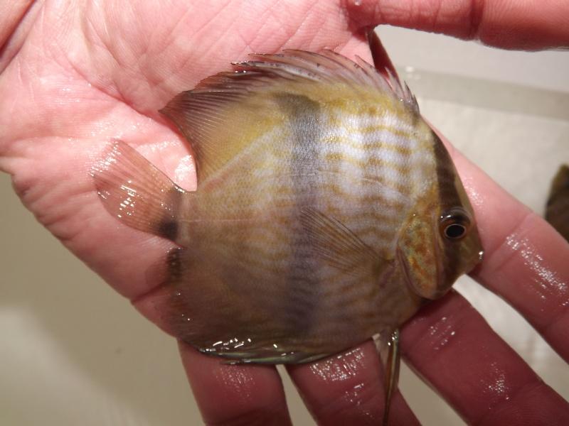 Symphysodon discus, Discus heckel rio Negro Discus15