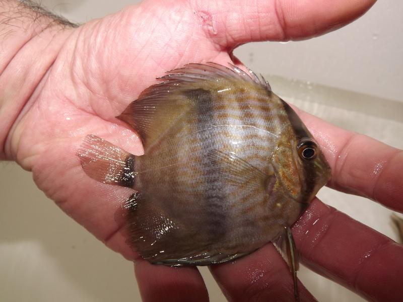 Symphysodon discus, Discus heckel rio Negro Discus16