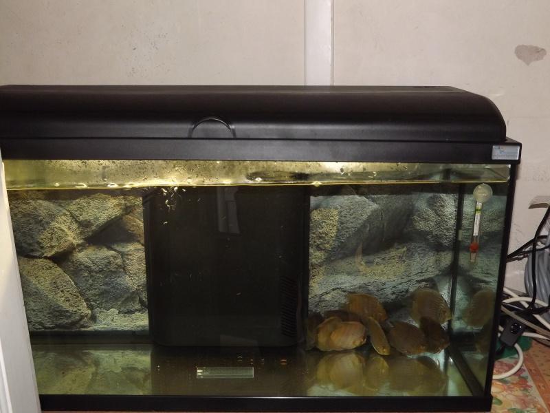 Symphysodon discus, Discus heckel rio Negro Discus17