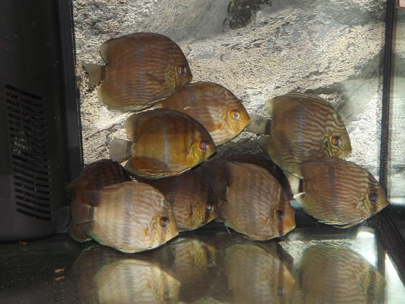 Symphysodon discus, Discus heckel rio Negro Discus18