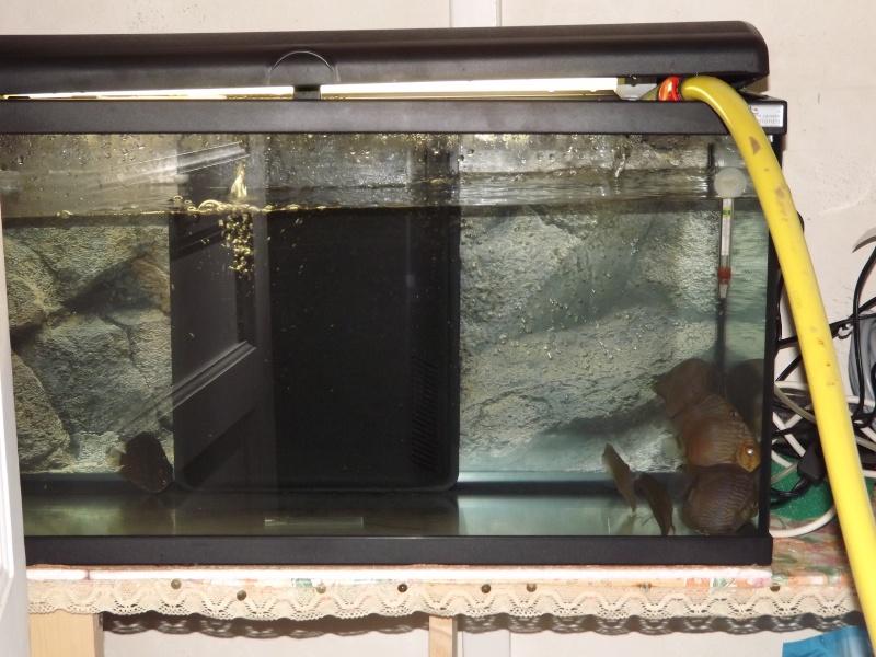 Symphysodon discus, Discus heckel rio Negro Discus19