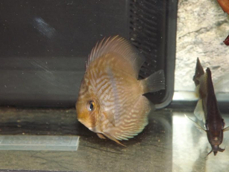Symphysodon discus, Discus heckel rio Negro Discus22