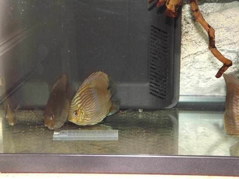 Symphysodon discus, Discus heckel rio Negro Discus23