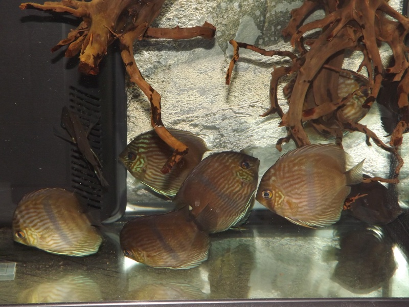 Symphysodon discus, Discus heckel rio Negro Discus24
