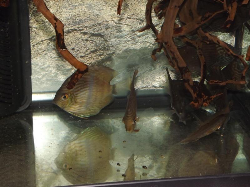 Symphysodon discus, Discus heckel rio Negro Discus26