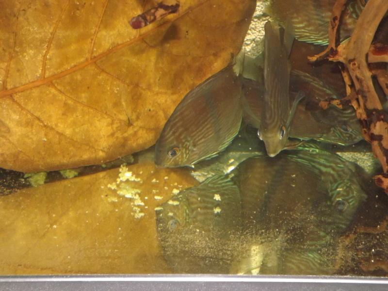 Symphysodon discus, Discus heckel rio Negro Discus29