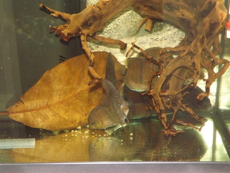 Symphysodon discus, Discus heckel rio Negro Discus30