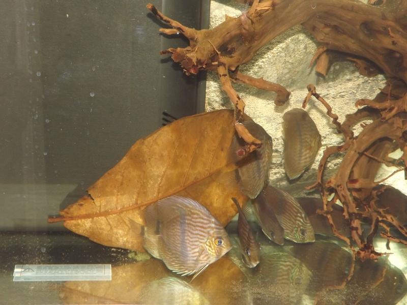 Symphysodon discus, Discus heckel rio Negro Discus31