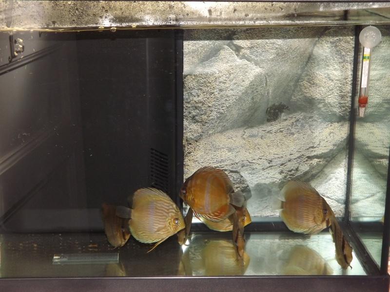 Symphysodon discus, Discus heckel rio Negro Discus32